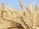 Düzensiz yağışlar buğdayda üretim kaybına yol açtı
