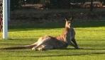 Avustralyada sahaya giren kanguru maçı yarıda kesti