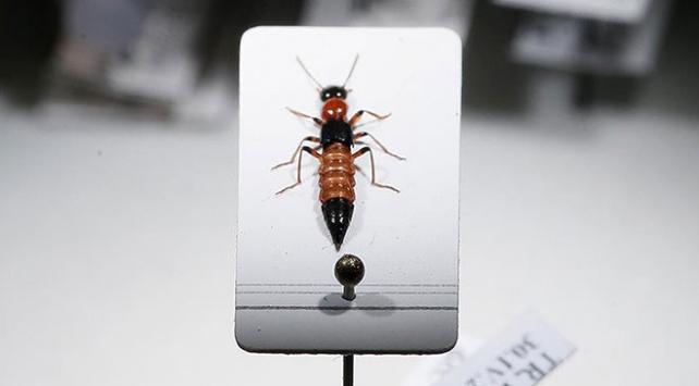 """""""Paederus"""" böceğinin zehri kansere umut oluyor"""