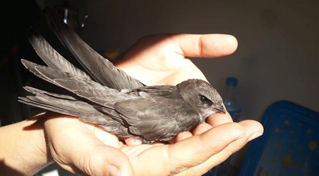 Karabükte Ebabil kuşu bulundu