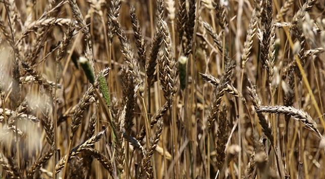 Buğday ve arpa üretiminde çiftçilerin yüzü güldü