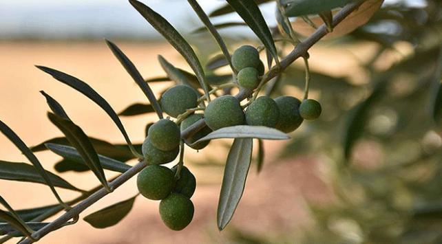 Türkiye zeytinyağı üretimi artışında zirvede