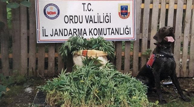 Orduda uyuşturucu operasyonu: 14 gözaltı