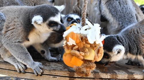 Yaramaz lemurlar organik meyveyle besleniyor