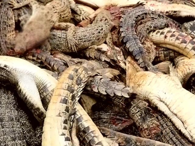 """Endonezyada köylüler """"intikam için"""" 292 timsah öldürdü"""