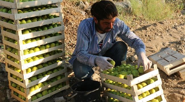 Aydında incir hasadı başladı