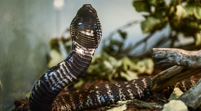 Kobra yılanıyla ilgili bilinmesi gerekenler