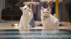 Van kedileri havuzu sevdi