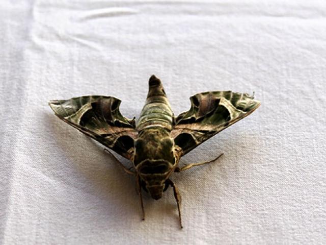 Antalyada mekik kelebeği bulundu