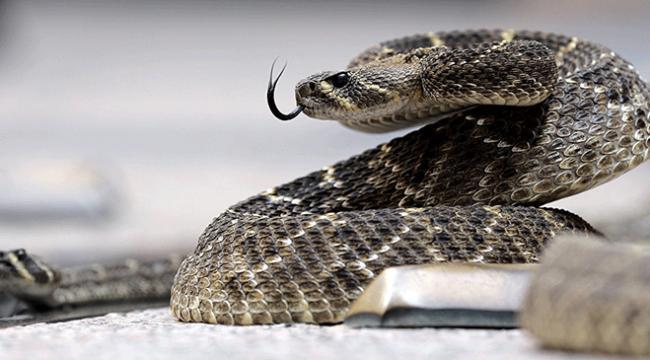 Avustralyada yeni yılan türü bulundu