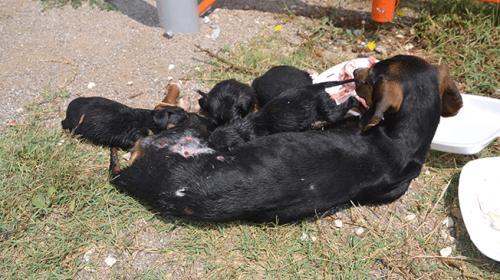 Yaralı köpek yavrularını emzirmeye devam etti