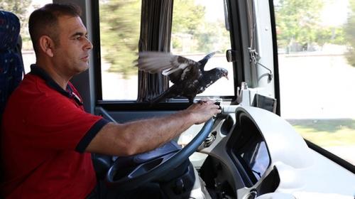 Halk otobüsü şoförü güvercinle çalışıyor