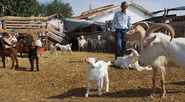 Tır şoförlüğünü bırakıp keçi çiftliği kurdu