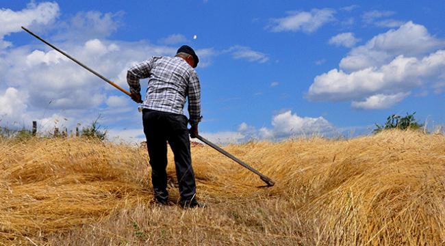 Siyez buğdayını geleneksel yöntemlerle hasat ediyorlar