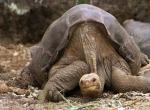 Galapagos Dev Su Kaplumbağaları