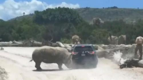 Meksika'da bir gergedan safariye gelen ailenin aracına saldırdı