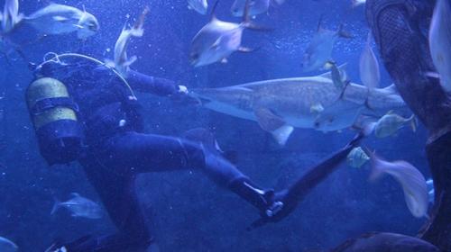 Köpek balıklarını korkusuz dalgıçlar besliyor