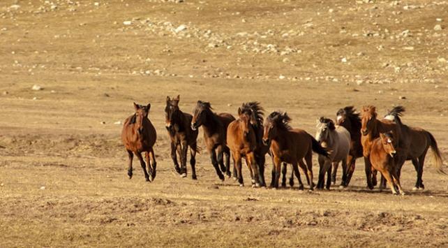Eynif Ovasının yılkı atları belgesele konu oluyor