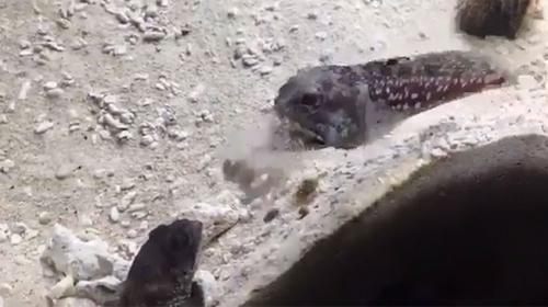 Akvaryumda yaşayan 2 balığın kavgası