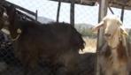 Amatör kulüp 18 futbolcusunu satıp keçi aldı