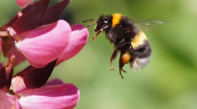 Sarı çizgili yaban arılarının genomu araştırılıyor