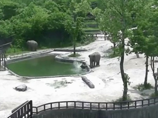 Fil yavrusu suya düşünce ailesi telaşlandı