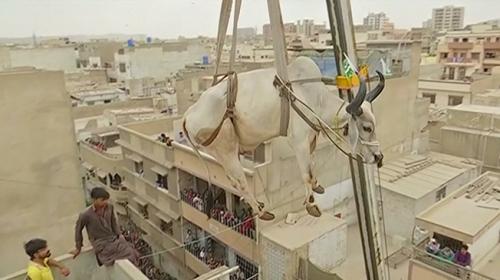 Çatıda beslediği kurbanlıkları vinç yardımıyla indiriyor