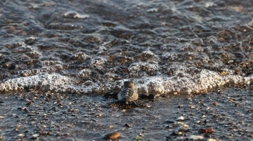 Mersinde yavru caretta carettalar denizle buluşuyor