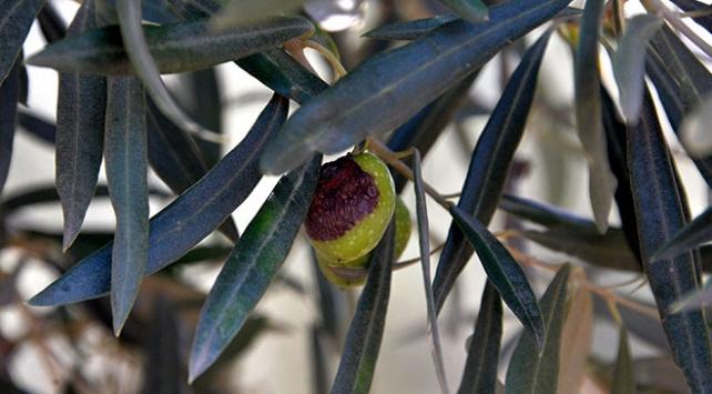 Akdeniz ve Egede zeytin sineği sıkıntısı