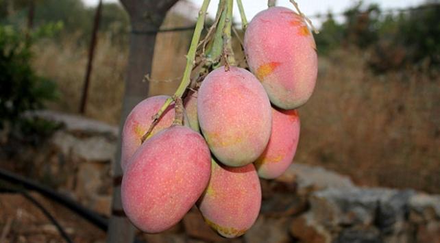 Antalya Gazipaşanın tropikal meyveleri
