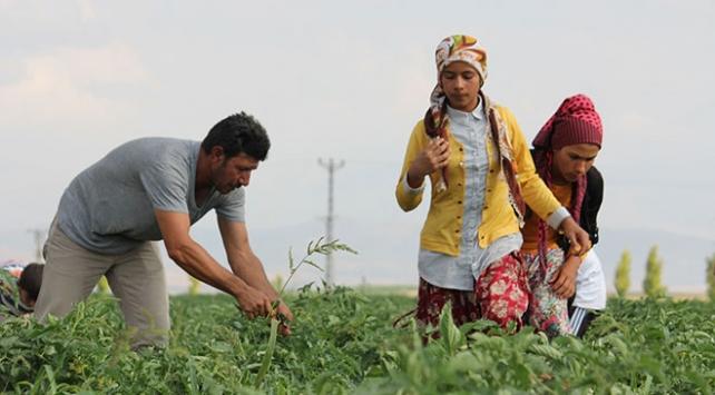 Mevsimlik işçilerin Konyada zorlu mesaisi başladı