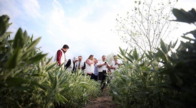 Düzcede tıbbi ve aromatik bitkilerin ilk hasadı yapıldı