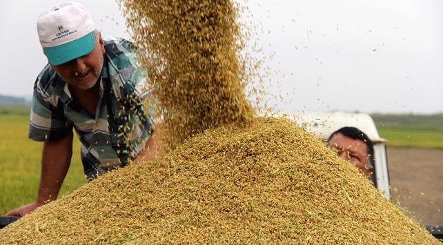 Edirnede çeltik hasadı devam ediyor