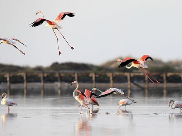 Tunus sahillerinde flamingoların etkileyici dansı