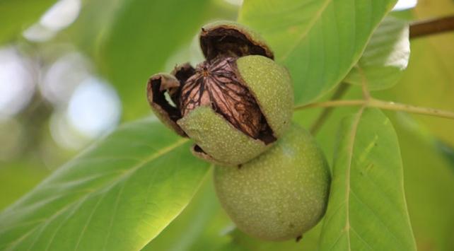 İnce kabuğu ve lezzetiyle tanınan Kaman cevizinde hasat zamanı