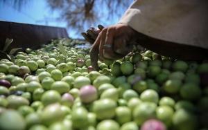 Mısırda zeytin hasadı