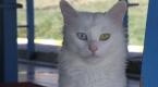 """""""Her evde bir Van kedisi"""" kampanyasına ilgi artıyor"""