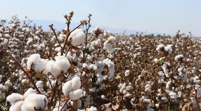 Yerli pamuk türü geliştirildi