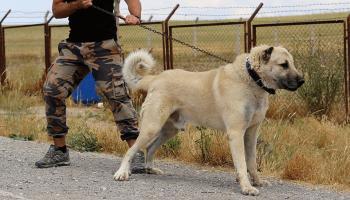 İtalyada kurt saldırılarına karşı Kangal köpeği önerisi