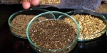 Yerli tohumlara 7 yeni çeşit eklendi