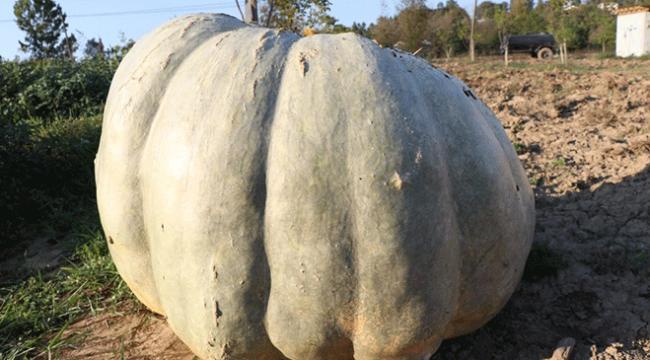 450 kilogramlık bal kabağı görenleri şaşırtıyor