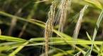 Tescilli pirinçte el emeğiyle hasat