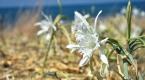 Akdenizin süsü nesli tükenen kum zambağı