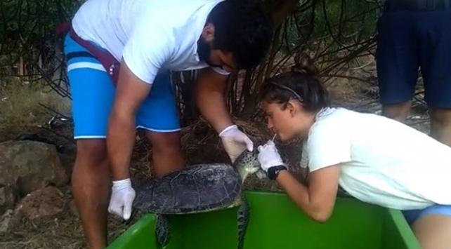 Deniz kaplumbağası kalp masajı ve suni solunumla hayata döndürüldü