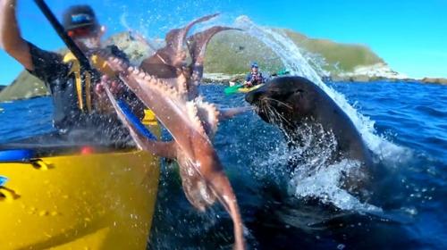 Yeni Zelandada fok balığından beklenmedik tepki