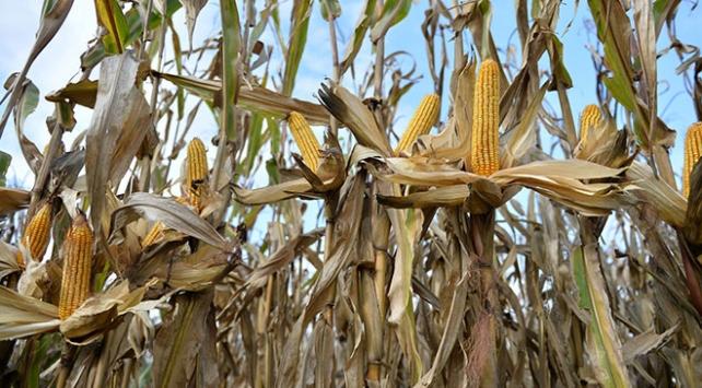 Sakaryada geliştirdikleri tohumlarla Türk tarımına güç katıyorlar