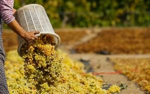 Manisadan 40 ülkeye üzüm ihracatı