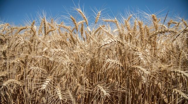 Suriyede son 29 yılın en kötü buğday hasadı