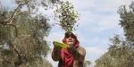 Batı Şeriadaki zeytin hasadında Yahudi yerleşimci korkusu