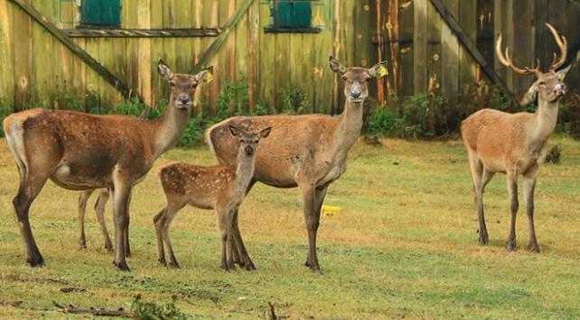 2 geyikle kuruldu, çok sayıda kızıl geyiği doğaya kazandırdı